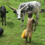 Boy carrying water among the cows